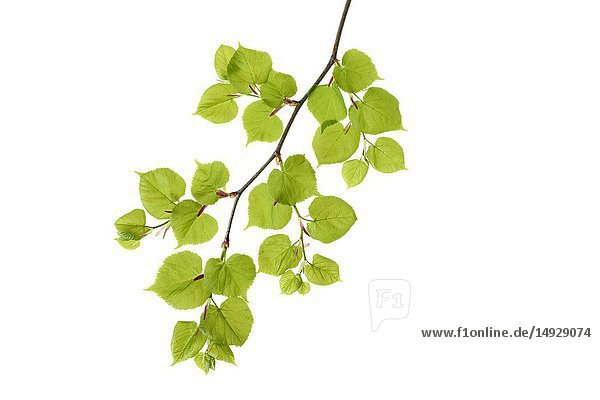 Lime tree (Tilia spec. ) leaves against white background. Bavaria  Germany  Studio Shot.