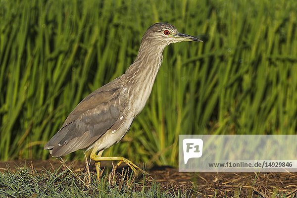 Black-crowned Night Heron (Nycticorax nycticorax). Juvenile. Walking at the edge of a rice field (Oryza sativa). Environs of the Ebro Delta Nature Reserve  Tarragona province  Catalonia  Spain.