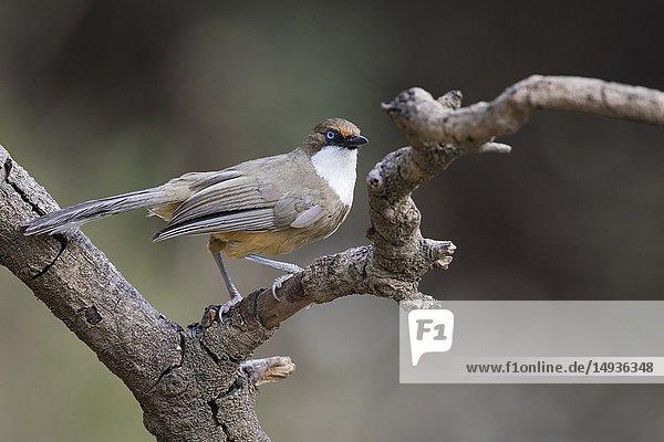 White-throated Laughingthrush (Garrulax albogularis) perched on branch. Pangot. Nainital district. Uttarakhand. India.