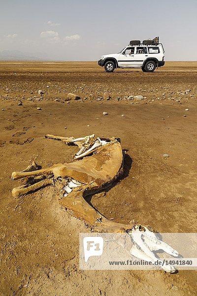 Dromedarie dead in Dallol. Danakil depression desert in Ethiopia. Africa.