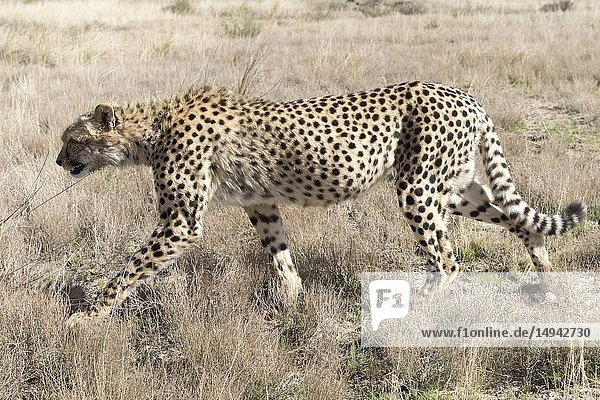 South Africa  Private reserve  Cheetah (Acinonyx jubatus)  walking.
