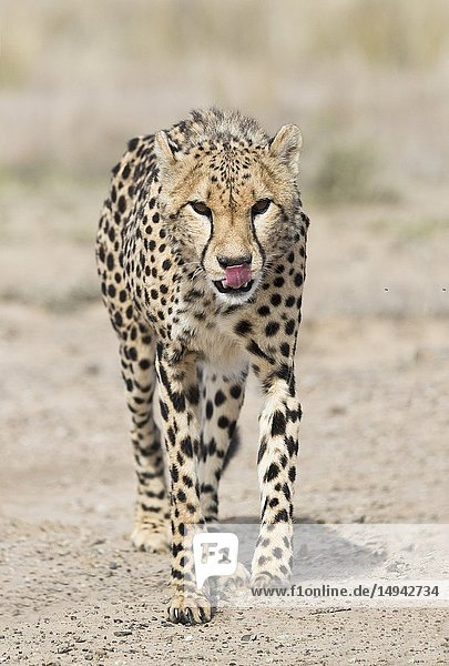 South Africa  Private reserve  Cheetah (Acinonyx jubatus)  walking.