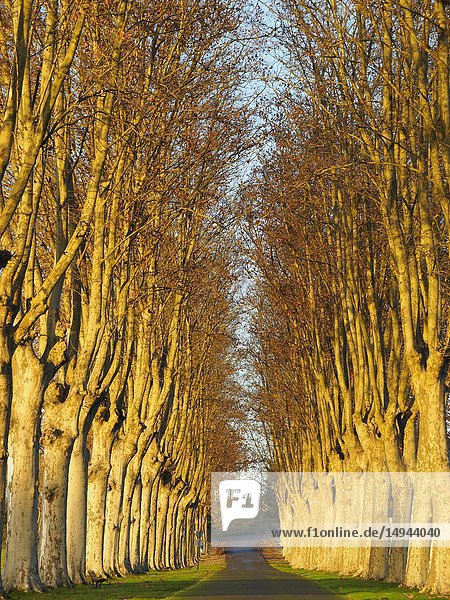 Plane trees  Platanus  beside a driveway near Virazeil  Lot-et-Garonne Department  Nouvelle Aquitaine  France