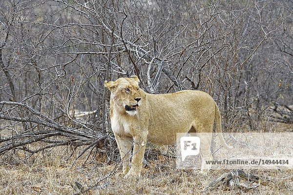 African lioness (Panthera leo)  adult female  standing among shrubs  alert  Kruger National Park  South Africa  Africa.