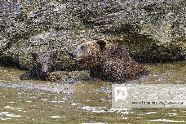 Brown bear  Ursus arctos  female with cub in pond  Germany.