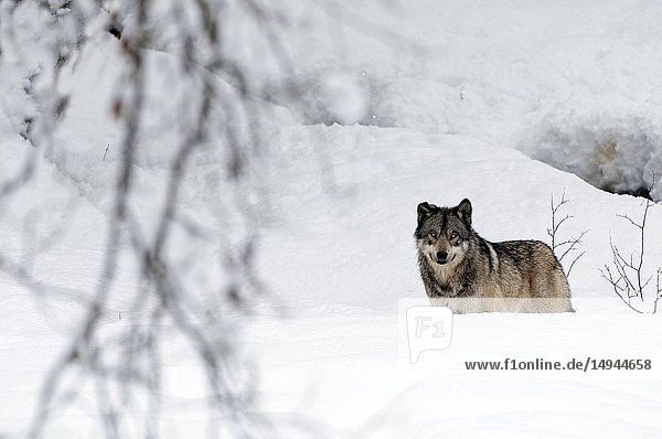 Grey wolf in the snow (Canis lupus).