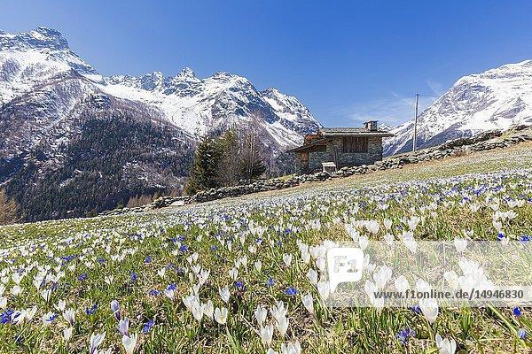 Stone hut surrounded by Crocus flowers  Bracciascia alp  Malenco Valley  province of Sondrio  Valtellina  Lombardy  Italy.