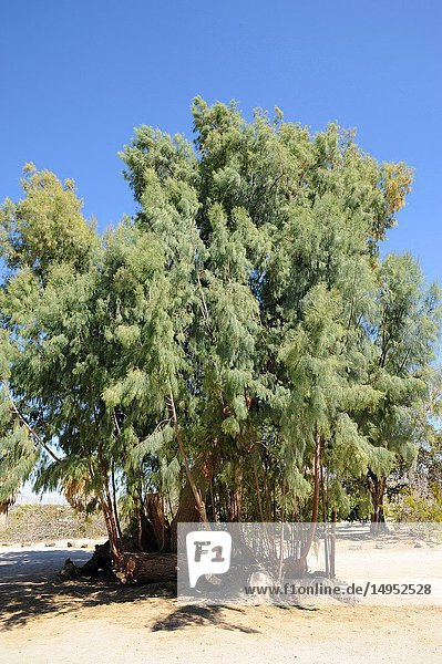 Salt cedar (Tamarix ramosissima) is a deciduous shrub or small tree native to Eurasia and naturalized in America. This photo was taken in Joshua Tree National Park  California  USA.