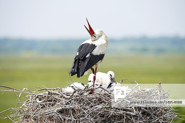 White stork  bill-clattering  with youngs on the nest (Ciconia ciconia)  France.