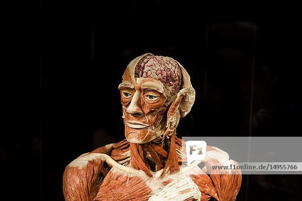 The Thinker at a Body World exhibition in Berlin  Germany.