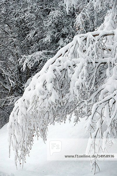 French Alps. Snow covered trees in winter. Saint-Gervais. France.
