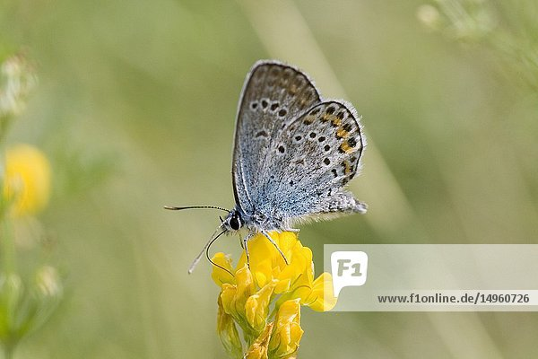 Chapman's Blue  Polyommatus thersites. Similar to P icarus except that there is no underspot on front wing. Butterfly inhabits nutrient poor grasslands. Larval foodplant is Onobrychis. Flies from April-October. Can be found with P icarus.