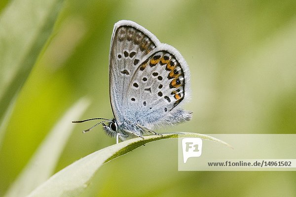 Idas Blue  Plebejus idas are myrmephilic Lycaenidae associatted with Lasius and Formica ants. Meadow grasslands with large variety of flowering plants  particularly Fabaceae. Idas Blue is identified by blue eyespots on the hindwing and distinct orange crescents on upper edge of wing.