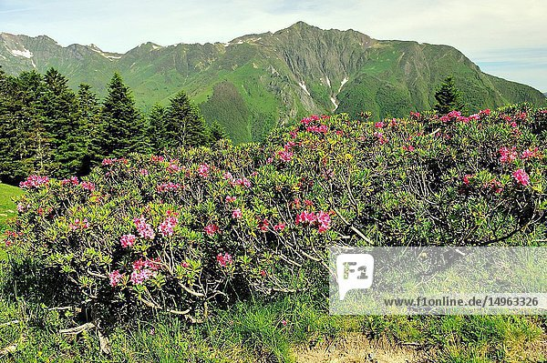 Rhododendron in bloom on the Pyrenees mountains. Cauterets town  Hautes-Pyrénées department   Occitanie region  France.