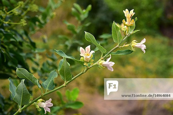Cruel vine (Araujia sericifera) is a perennial vine native to South America and naturalized in south Europe  North America and Australia. This photo was taken in Alt Emporda  Girona province  Catalonia  Spain.