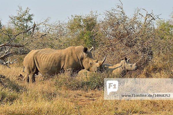 Southern white rhinoceros (Ceratotherium simum simum). Hlane National Park  Eswatini (Swaziland)