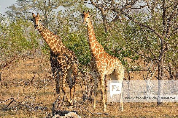 South African giraffe (Giraffa giraffa giraffa). Kruger National Park  South Africa