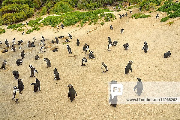 African penguin colony (Spheniscus demersus)  near Cape Town  South Africa