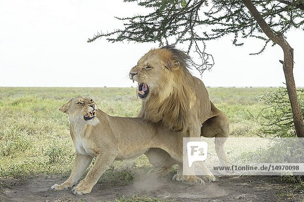 Lioness growns at a lion (Panthera leo) immediately after mating  Ngorongoro conservation area  Tanzania.
