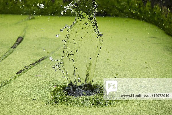 Water splash on a lake with green algae  Maharashtra  India.