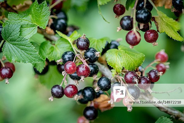Blackcurrants (Ribes nigrum) growing on a vine  Bialystok  Poland.