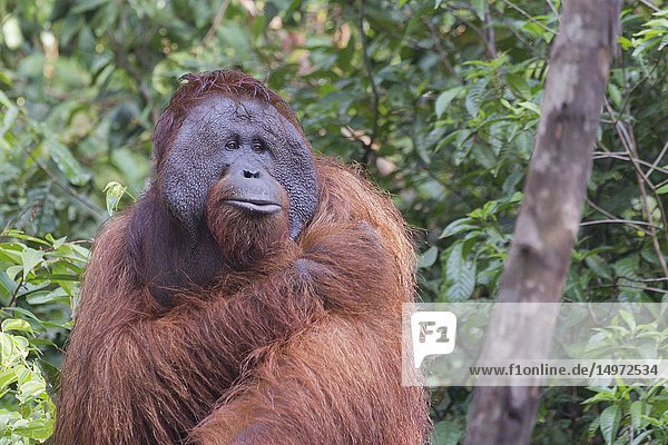 Asia  Indonesia  Borneo  Tanjung Puting National Park  Bornean orangutan (Pongo pygmaeus pygmaeus)  adult male  walking on the ground.