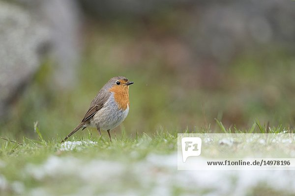 Robin Redbreast / Rotkehlchen ( Erithacus rubecula ) from a low point of view  standing in grass with rests of snow.