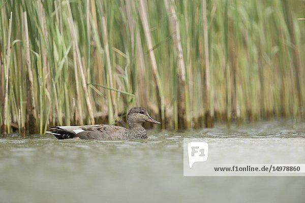 Gadwall Duck / Schnatterente ( Anas strepera )  drake in breeding dress  swimming close along a reed belt  in natural surrounding.