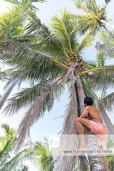 Mann klettert auf Kokosnussbaum  Pagudpud  Ilocos Norte  Philippinen
