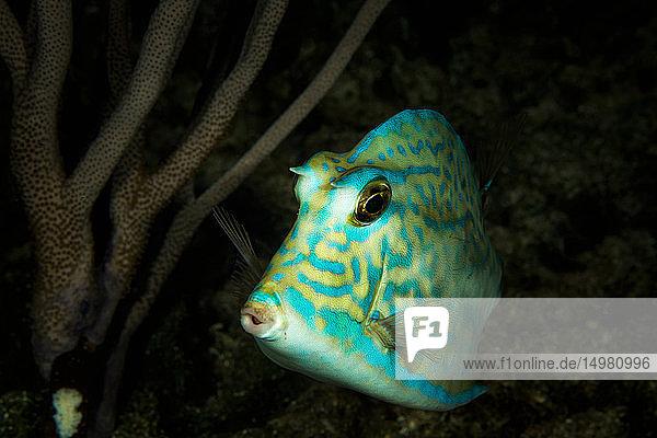 Unterwasseraufnahme eines Kuhfisches  Nahaufnahme  Eleuthera  Bahamas