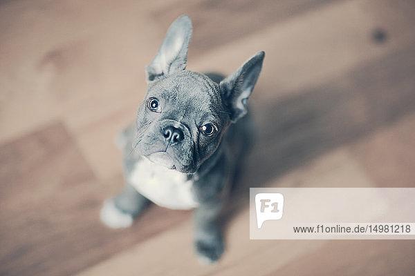 Porträt eines französischen Bulldoggen-Welpen
