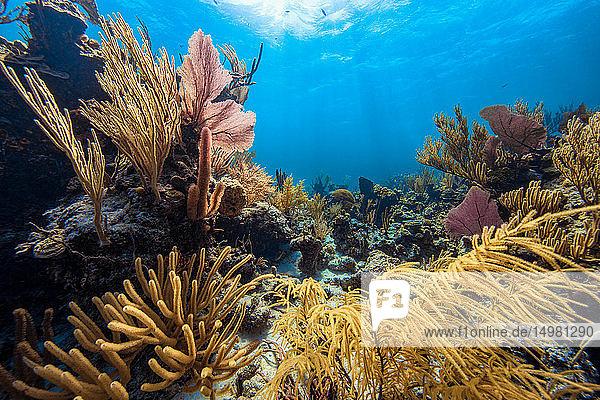 Landschaftliche Unterwasser-Ansicht von Weichkorallen auf dem Meeresboden  Eleuthera  Bahamas