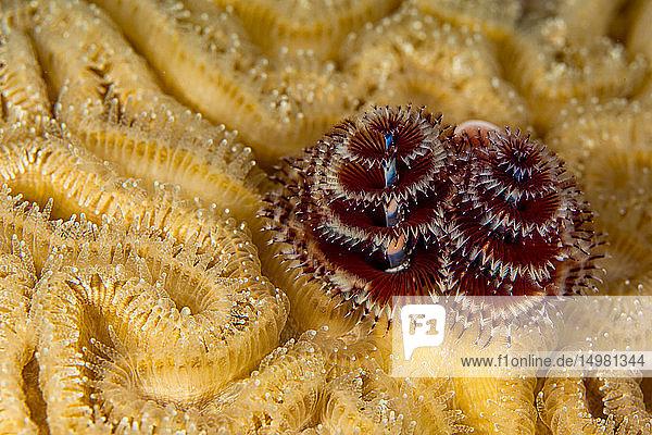 Unterwasseransicht eines Paares von Weihnachtsbaumwürmern (Spirobranchus giganteous)  Nahaufnahme  Eleuthera  Bahamas