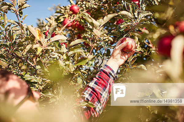 Frau pflückt Äpfel vom Baum Frau pflückt Äpfel vom Baum