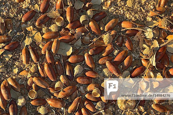 Many Holm Oak (Quercus ilex) acorns in Parque Regional del Monte de El Pardo. Madrid province  Spain.