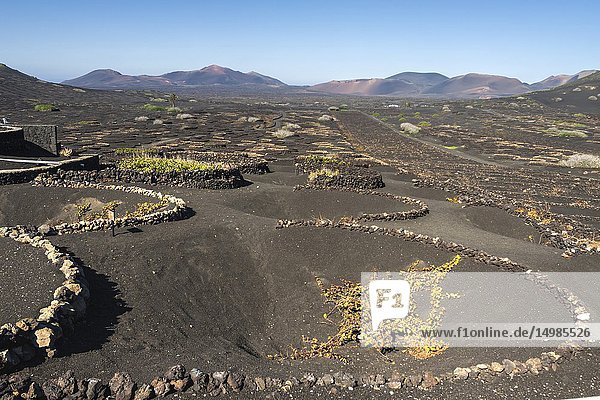 The typical Malvasia of the volcanic island. La Geria  Lanzarote. Spain.