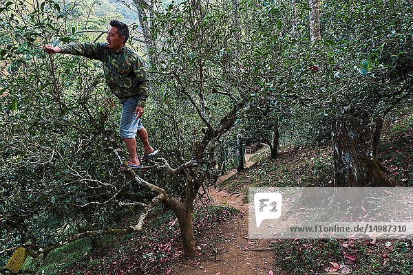 China  Yunnan  Xishuangbanna district  tea tree  Tea Picker picking tea leaves.