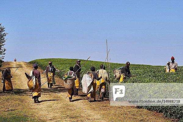 Kenya  Kericho county  Kericho  cueillette du thé / Kenya  Kericho county  Kericho  tea picker picking tea leaves.