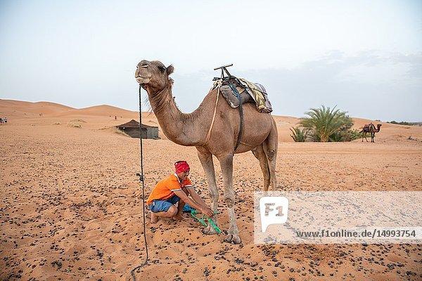 Man Tending to a Camel in the Desert of Merzouga  Morocco. Sahara Desert.