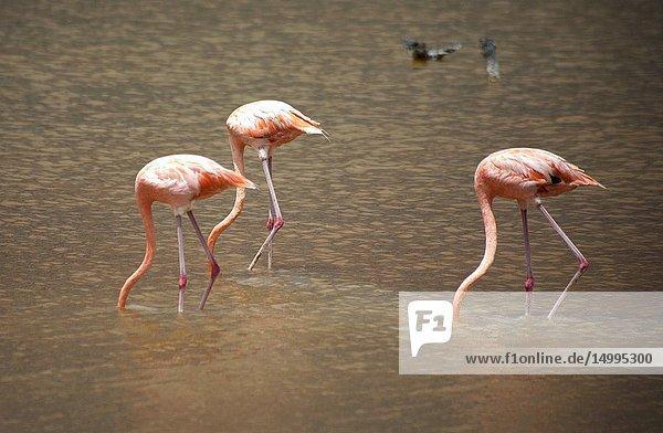 Pink flamingos eating in Celestun on Mexico's Yucatan peninsula  June 21  2009.