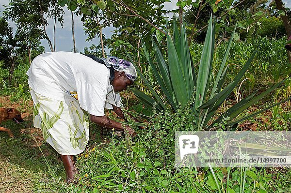 Kenyan lady picking leaves off a Sisal plant to make rope from in a traditional way