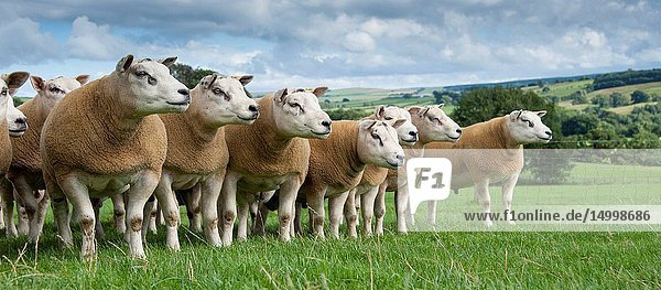 Texel rams ready for autumn sales on pasture