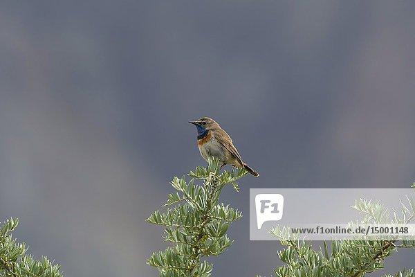 Bluethroat  Luscinia svecica  Nubra Valley  Ladakh  Jammu and Kashmir  India.