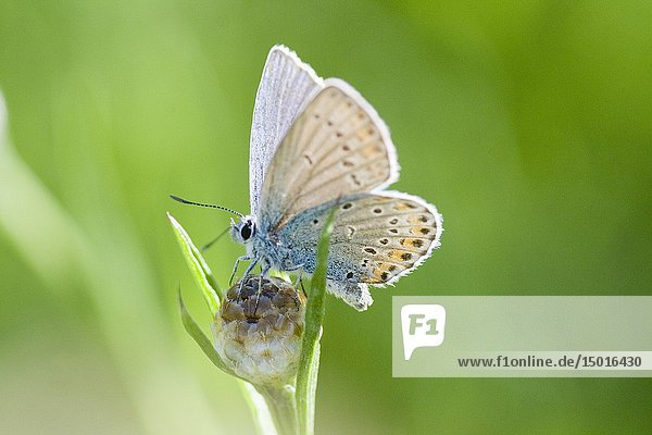 Amanda's Blue  Polyommatus amandus. Distinct blue butterfly that has orange lunules on upper hindwing  but missing on forewing. Butterfly is powder blue  similar to Meleager's. Hindwing also is notably round. Largest of European blues. Size: 29-32mm.