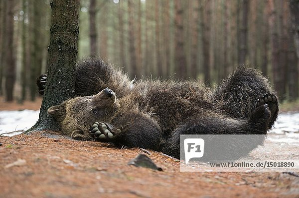 European Brown Bear ( Ursus arctos )  playful cub  lying  rolling on its back  scratching  itching on the ground  looks cute and funny  Europe.