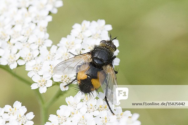 Tachina fera  parasiticTachinid fly. Length 9-14mm. Wingspan 16-27mm. Body is orangish with black stripe along the center with bristly black hairs at rump. Two generations per year. Flight is end of April-October. Pollinators  they feed on Asteraceae  Cirsium arvense and Apiaceae  Heracleum sphondylium. Females lay eggs on plants where the host caterpillar will feed and ingest the eggs. The fly parasitizes moths of Noctuidae and Lymantriidae  including the Gypsy Moth  Lymantria dispar. When the egg hatches inside the caterpillar  it parasitizes it. Pupation occurs outside host carcass in soil litter. T fera parasitizes: Broom Moth Ceramica pisi  Dun-Bar Cosmia trapezina  Small Quaker Orthosia cruda  Common Quaker Orthosia cerasi  Gypsy Moth  Lymantria dispar  Black Arches  Lymantria monacha  and Pine Beauty Panolis flammea.