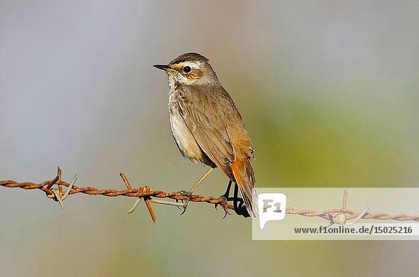 Bluethroat  Luscinia svecica is a small passerine bird  Pune  Maharashtra  India.