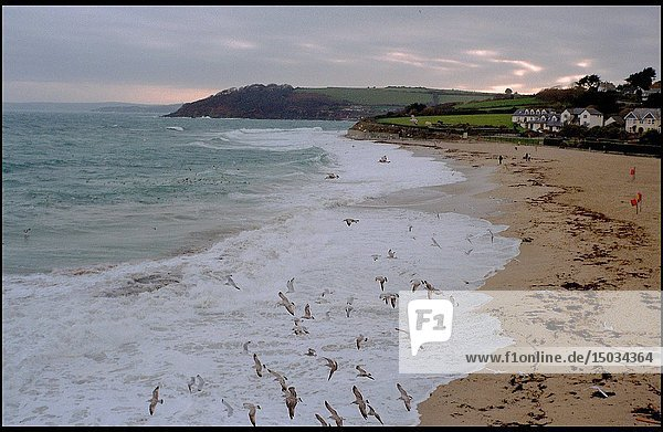 UK Falmouth -- Nov 2003 -- Seagulls feed on the incoming tide on this small beach in the east of the town -- Picture © Jon Mitchell / Lightroom.