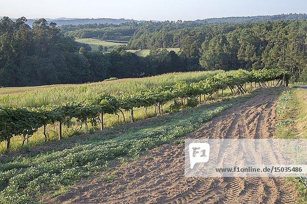 Vineyard in Noia  Galicia  Spain.