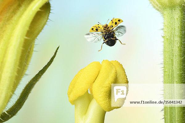 Zweiundzwanzigpunkt-Marienkäfer  Psyllobora vigintiduopunctata  Deutschland  Europa
